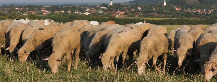 Ligeti Sheep Farm