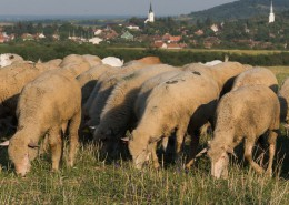Ligeti Sheep Farm